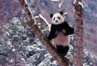 Giant Panda Standing on Tree, Wolong, Sichuan, China by Keren Su - various sizes