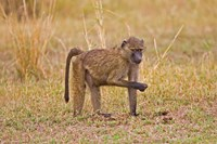 Baboons near the bush in the Maasai Mara, Kenya Fine Art Print