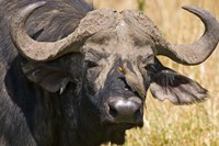 Cape Buffalo with a Yellow-Billed Oxpecker, Kenya Fine Art Print