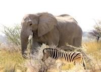 Zebra at Namutoni Resort Namibia