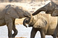 African Elephants at Halali Resort, Namibia Fine Art Print