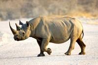 Black Rhinoceros, Namibia Fine Art Print