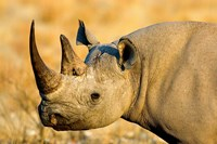 Black Rhinoceros at Halali Resort, Namibia Fine Art Print