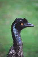 Emu Portrait, Australia Fine Art Print