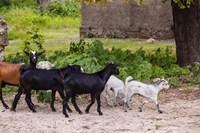 Africa, Mozambique, Ibo Island, Quirimbas NP. Goats running down path. Fine Art Print