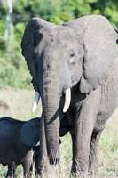 African bush elephant, Maasai Mara, Kenya Fine Art Print
