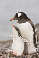 Antarctica, Aitcho Island. Gentoo penguin chick by Jaynes Gallery - various sizes