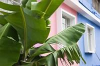 Banana plant, Mahebourg, Mauritius by Walter Bibikow - various sizes