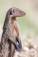 Banded Mongoose, Maasai Mara, Kenya Fine Art Print