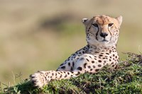 Cheetah, Kenya Fine Art Print