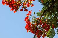 Close-up of African flame tree, Stone Town, Zanzibar, Tanzania Fine Art Print