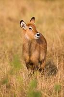 Defassa Waterbuck wildlife, Uganda by Martin Zwick - various sizes