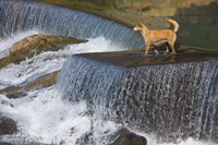 Dog on the waterfall, Pingnan, Fujian, China Fine Art Print
