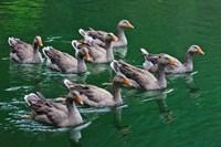 Ducks on the lake, Zhejiang Province, China by Keren Su - various sizes