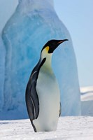 Emperor Penguin on ice, Snow Hill Island, Antarctica Fine Art Print