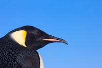 Head of Emperor Penguin, Antarctica by Keren Su - various sizes