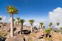 Ethiopian Giant Lobelia, Simien Mountains, Ethiopia by Martin Zwick - various sizes