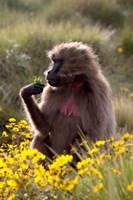 Gelada Baboon primate, Ethiopia by Martin Zwick - various sizes