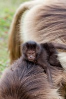 Gelada Baboon Primate Ethiopia