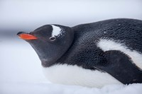 Gentoo Penguin resting in snow on Deception Island, Antarctica. by Paul Souders - various sizes