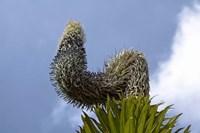 Giant Lobelia flora of the Rwenzoris, Uganda by Martin Zwick - various sizes