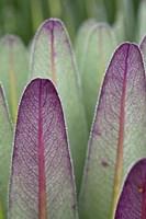 Giant Lobelia flora, Rwenzoris, Uganda by Martin Zwick - various sizes