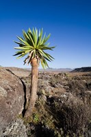Giant Loebelia Bale Mountains Ethiopia