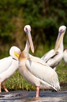 Great White Pelican, Lake Chamo, Nechisar National Park, Arba Minch, Ethiopia by Martin Zwick - various sizes - $45.99