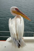 Great White Pelican, Walvis Bay, Namibia, Africa. by David Wall - various sizes - $45.99