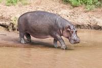 Hippopotamus pod relaxing, Mara River, Maasai Mara, Kenya, Africa by Martin Zwick - various sizes