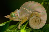 Baudrier's Chameleon, Lizard, Madagascar, Africa by Pete Oxford - various sizes