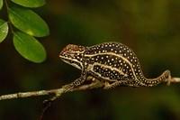 Campan's chameleon lizard, Madagascar Fine Art Print