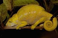 Globular Chameleon, Lizards, Madagascar Fine Art Print