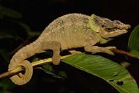 Green-eared Chameleon lizard, Madagascar, Africa Fine Art Print