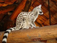 Common Genet in the Ndutu Lodge, Tanzania Fine Art Print