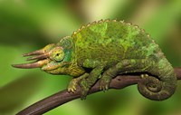 Close-up of Jackson's Chameleon on limb, Kenya by Jaynes Gallery - various sizes