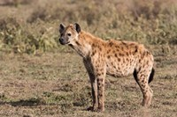 Africa, Tanzania, Serengeti. Spotted hyena, Crocuta crocuta. Fine Art Print