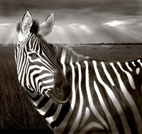 Black & White of Zebra and plain, Kenya Fine Art Print