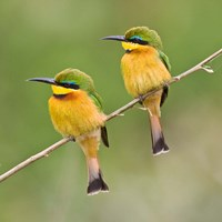 Africa. Tanzania. Little Bee Eaters at Manyara NP Fine Art Print