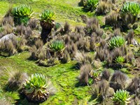 Landscape with Giant Groundsel in the Mount Kenya National Park, Kenya by Martin Zwick - various sizes, FulcrumGallery.com brand