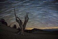 A dead bristlecone pine tree against a backdrop of star trails Fine Art Print