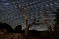 A dead Pinyon pine tree and star trails, Joshua Tree National Park, California Fine Art Print
