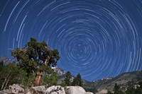 A pine tree on a windswept slope reaches skyward towards north facing star trails Fine Art Print
