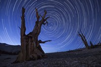 Star trails above an ancient bristlecone pine tree, California Fine Art Print