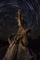 Star trails above a bristlecone pine tree, California Fine Art Print