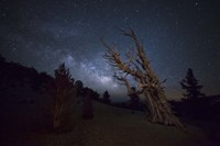 A large bristlecone pine in the Patriarch Grove bears witness to the rising Milky Way by Dan Barr - various sizes