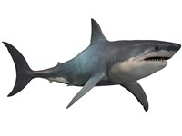 Megalodon shark, a predator from the Cenozoic Era by Corey Ford - various sizes