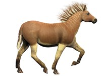 The Quagga is an extinct subspecies of the plains zebra by Corey Ford - various sizes