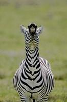 Male Burchell's Zebra Exhibits Flehmen Display to Sense Females, Kenya by Jaynes Gallery - various sizes