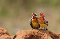 Kenya, Samburu, Red-Yellow Barbet bird Fine Art Print